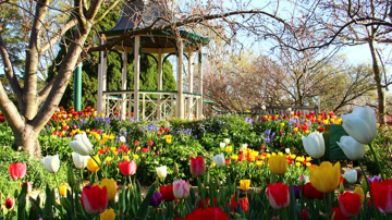 LADIES ONLY: Tour Canberra's Floriade Festival & Tulip Time in Bowral (September 2021)